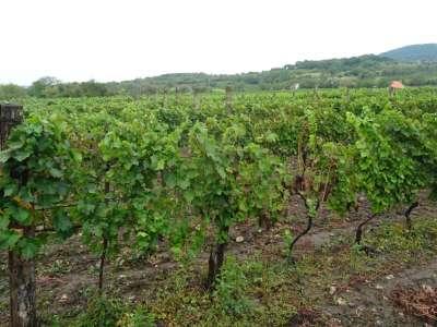 Balatoni Panorámás szőlő Birtok
